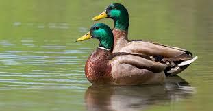 Les canards colvert ou mallard fréquentent le lac Raymond