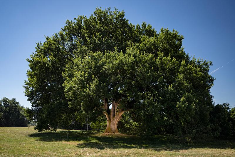 Arbre de l'année 2019 - prix du jury : Chêne de Tombeboeuf (Lot-et-Garonne, Nouvelle-Aquitaine)