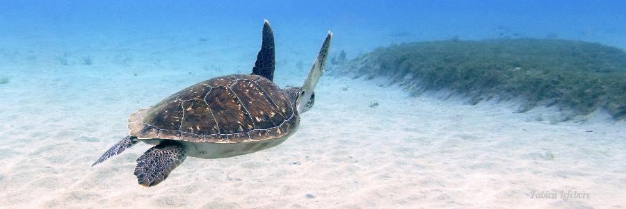 Tortue verte (Chelonia Mydas) aux Antilles © Fabien Lefebvre