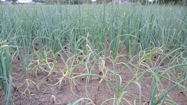 Managing onion diseases