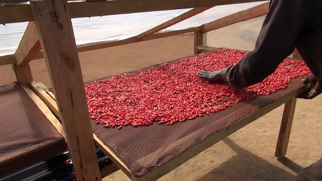 Solar drying of chillies